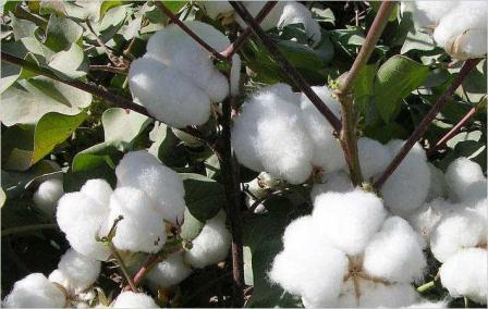 Global demand for cotton may rise