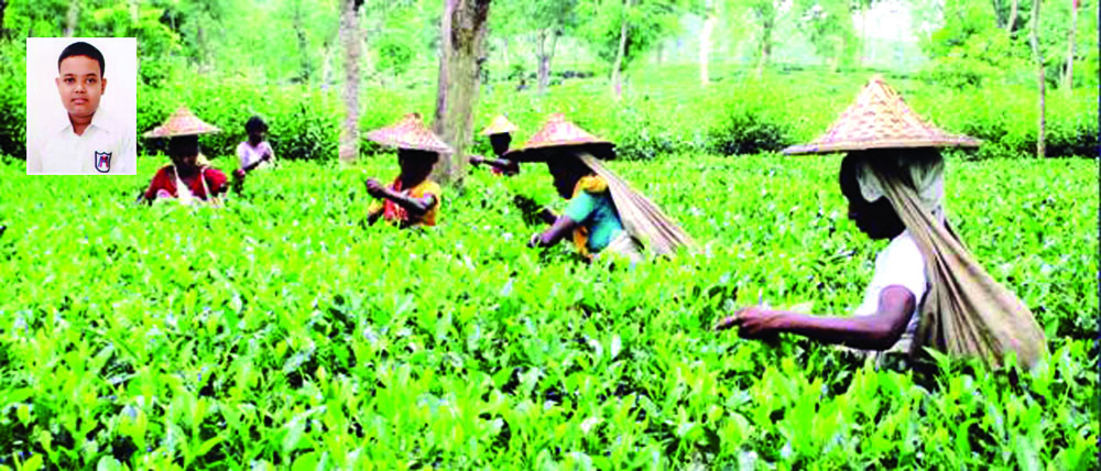 The Treasury of Tea for Bangladesh: Sremangal