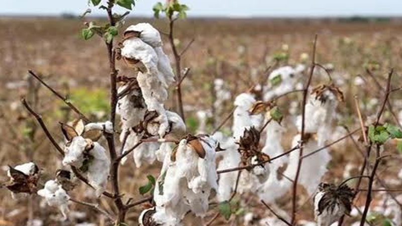 China strengthens cotton cooperation with BRI Central Asian nations