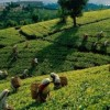 SreemangalThe Tea Capital of Bangladesh