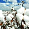 Bangladesh pays cotton import bill of over $3.0b annually